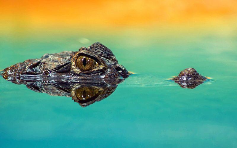 selfie s krokodýlem